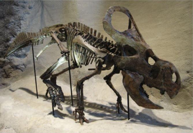 Protoceratops Skeleton